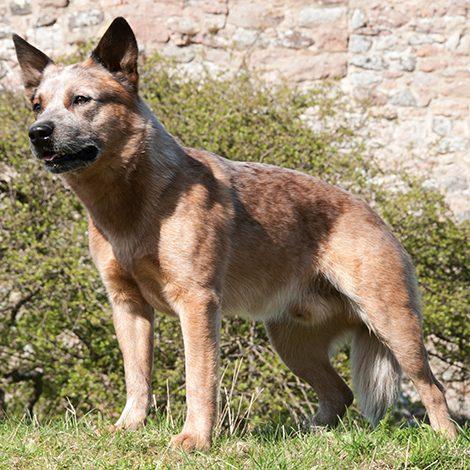 seniorhund02